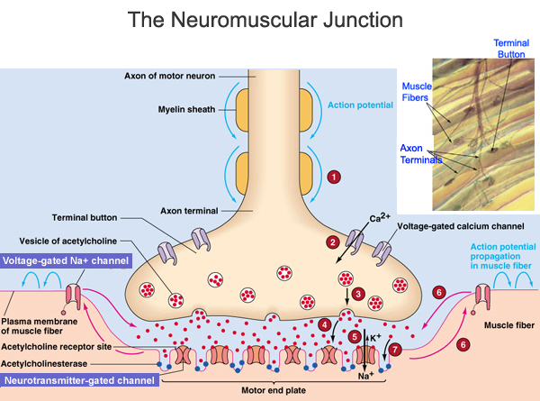 Neuromuscular Junction Diseases