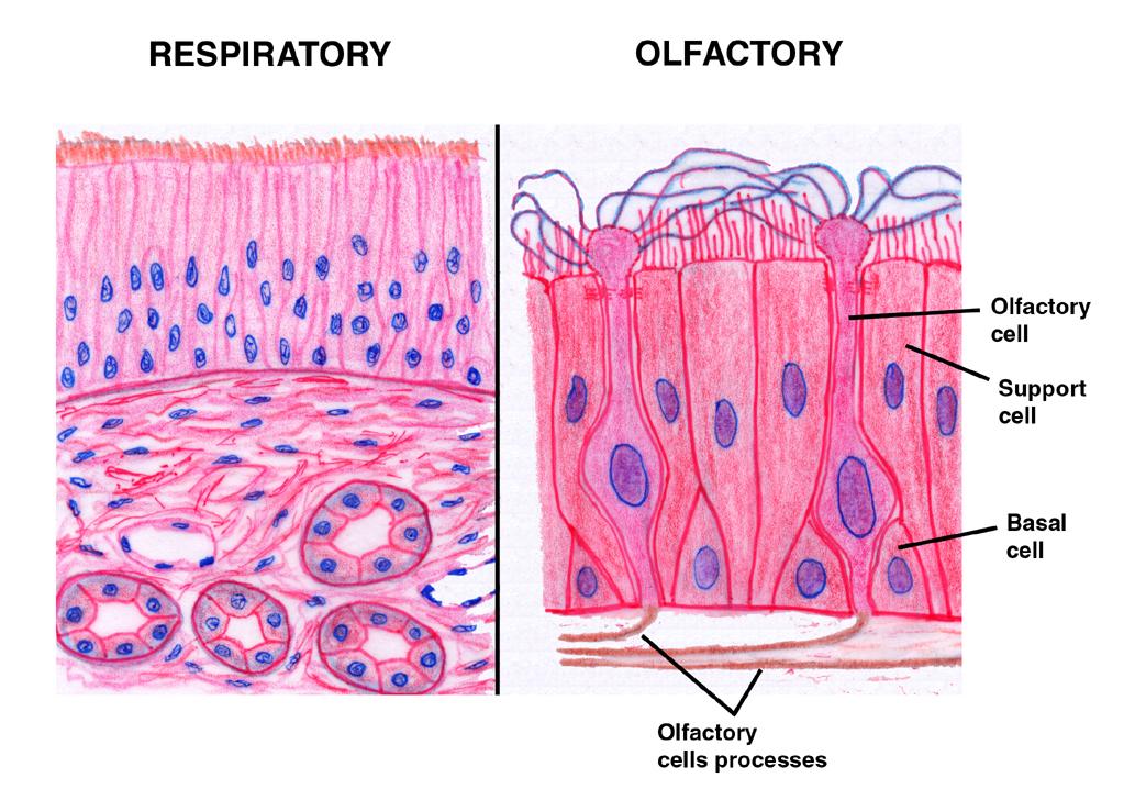 science 101 cranial nerve i the olfactory nerve
