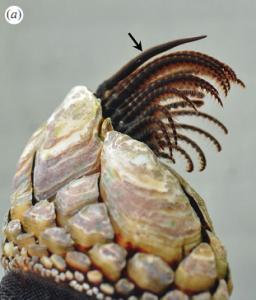 barnacle penis2