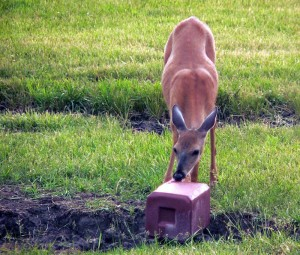 deer-at-salt-lick