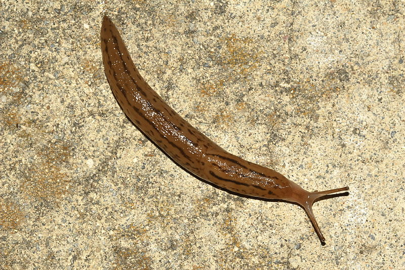 Friday Weird Science Can A Slug Live In Your Stomach Neurotic Physiology