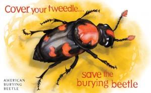 burying-beetle-condom