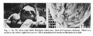 sloth moths