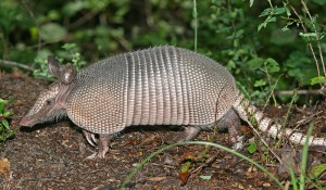 Nine-banded_Armadillo