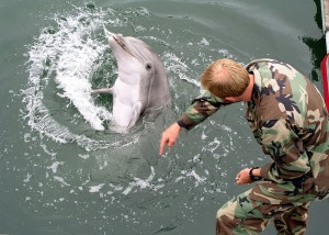 800px-Military-trained-dolphin